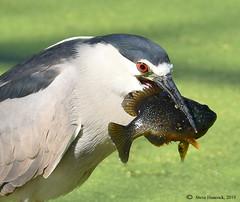 Black-crowned Heron with fish (Geo Scouter) Tags: wildwoodpark blackcrownednightheron harrisburg pennsylvania wildwoodlake