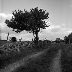 Sweden19-024 (salparadise666) Tags: rolleiflex sl66 planar 80mm fomapan 100 caffenol cl nils volkmer 6x6 medium format analogue film camera landscape tree sweden blekinge