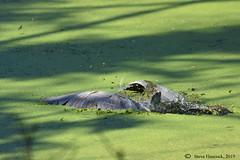 Goes under (Geo Scouter) Tags: wildwoodpark blackcrownednightheron harrisburg pennsylvania wildwoodlake