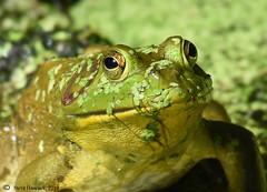 Frog (Geo Scouter) Tags: wildwoodlake harrisburg pennsylvania frog
