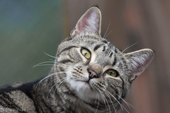 The Marley gaze (Picture-Perfect Pixels) Tags: animal cat male domesticshorthair tabby eyes staring gaze cute outdoors portrait nikon telephoto catmoments