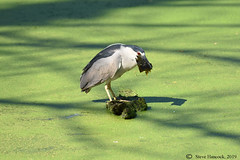 Second fish in 5 minutes! (Geo Scouter) Tags: wildwoodpark blackcrownednightheron harrisburg pennsylvania wildwoodlake