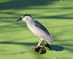 Spots a second fish! (Geo Scouter) Tags: wildwoodpark blackcrownednightheron harrisburg pennsylvania wildwoodlake