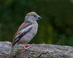 Hawfinch (Female)