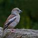 Hawfinch (Female)