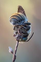 Anthidium byssinum | Bastardbiene (maldiesmaldas.de) Tags: stacking bracketing natur naturerocks naturelovers makro macro olympus zuiko 60mm karlstadt main bee biene anthidium byssinum bastardbiene