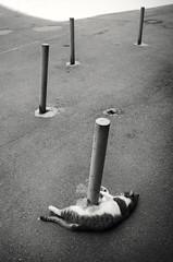 cat and poles, summer heat (Pomo photos) Tags: heat pole cat animal street leica lieca x2 abandoned abstract urban city cityscape blackandwhite blackwhite bw monochrome mono mood geometry minimalism minimalistic pet light shadow leicax2