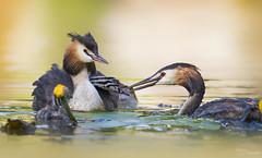 Great crested grebe family (Paula Darwinkel) Tags: greatcrestedgrebe grebe crestedgrebe bird birds animals wildlife nature wildlifephotography waterfowl waterbird