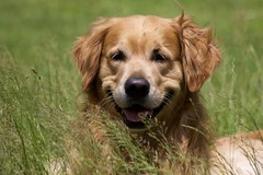 Enjoying The Day (Diane Marshman) Tags: thedude the dude golden retriever large dog breed brown tan fur coat laying grass summer pa pennsylvania nature pet companion portrait
