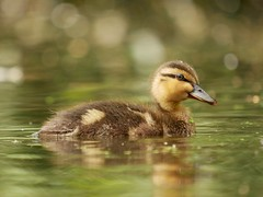 Mallard duckling (PhotoLoonie) Tags: duck duckling mallard waterbird bird nature wildlife attenboroughnaturereserve