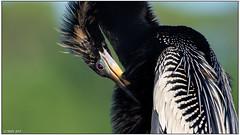 Anhinga (male) DSC_9562 (blindhogmike) Tags: sunrise statepark bird southcarolina island huntington lowcountry beach wildlife nature