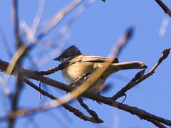 Chincol (Zonotrichia capensis). (Andres Bertens) Tags: 8841 olympusem10markii olympusomdem10markii olympusm75300mmf4867ii olympusmzuikodigitaled75300mmf4867ii rawtherapee bird chincol zonotrichiacapensis