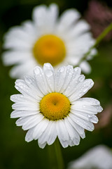 Wild Daisy (s.d.sea) Tags: pnw pacificnorthwest washington washingtonstate wa mountains mountain cascade hiking hike nature trail western northwest pacific summer june plants plant pentax k1ii daisy flower wildflower wildflowers flowers flora floral bloom raindrops rain drops
