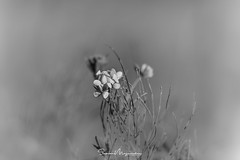 Spring wilderness (suman.photo) Tags: flower spring nature blackwhite wildflower nikon d810