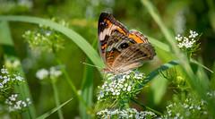 Common Buckeye Butterfly (NeilCastle) Tags: commonbuckeye lakecrabtreecountypark butterfly northcarolina lakecrabtree bugs insect bug morrisville