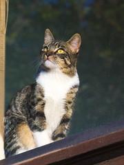Soñando con pajaritos tras la ventana;-) (Andres Bertens) Tags: 8930 olympusem10markii olympusomdem10markii olympusm75300mmf4867ii olympusmzuikodigitaled75300mmf4867ii rawtherapee pet cat