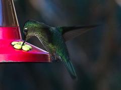 Picaflor chico (Sephanoides sephanoides). (Andres Bertens) Tags: 8868 olympusem10markii olympusomdem10markii olympusm75300mmf4867ii olympusmzuikodigitaled75300mmf4867ii rawtherapee bird picaflorchico sephanoidessephanoides