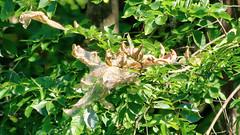 Nest (blazer8696) Tags: 2019 brookfield ct connecticut ecw hdr img041123realistic obtusehill t2019 tabledeck usa unitedstates bug caterpillar nest tent worm