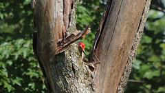 Pecker (blazer8696) Tags: bellied bird carolinus img0394 melanerpes melanerpescarolinus melcar picidae piciformes rbwo red redbellied redbelliedwoodpecker woodpecker brookfield connecticut unitedstates 2019 ct ecw obtusehill t2019 tabledeck usa