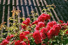 2019.06.23 Leica R5 + Vario Elmar 35-70mm fresh film 04-2020 Fujicolor C200 Lithuania Jonava (17) (nefotografas) Tags: 20190623 leicar5 varioelmar3570mm freshfilm 042020 fujicolorc200 lithuania jonava