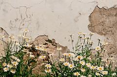 2019.06.23 Leica R5 + Vario Elmar 80-200mm fresh film 04-2020 Fujicolor C200 Lithuania Jonava (7) (nefotografas) Tags: 20190623 leicar5 varioelmar80200mm freshfilm 042020 fujicolorc200 lithuania jonava skaruliųšvonosbažnyčia