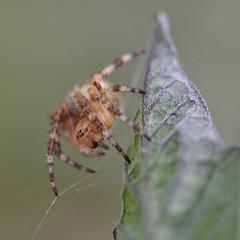 Imse vimse spindel (Lanzen) Tags: spider armiarma araña red grey tomato plant unidentified baratzearmiarma korsspindel araneus diadematus