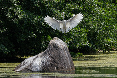 Great Egret on final (jmfuscophotos) Tags: eastchester newyorkstate wildlife greategret nature bird birds newyork westchestercounty twinlakescountypark ny