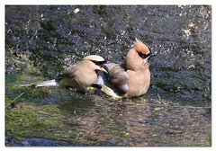Stay cool and drink water (Redtail10025) Tags: cedar waxwings birds migration bathing nyc central park