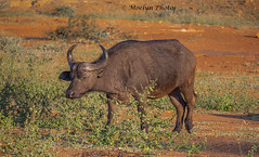 Cape Buffalo in Welgevonden (moelynphotos) Tags: capebuffalo buffalo africanbuffalo animalwildlife animalsinthewild safarianimal oneanimal safari illuminated horned eating field standing grassarea africa southafrica limpopoprovince welgevondenprivategamereserve nature moelynphotos