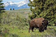 Bison with the Tetons (Ciavatta Photography) Tags: grandtetonnationalpark bison mountains wyoming wildlife