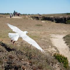 Goéland argenté (Olivier Brosseau) Tags: flickrnature bird décollage goéland island oiseau vol wildlife île