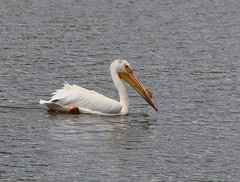 White Pelican On Lake Ladora (fethers1) Tags: rockymountainarsenalnwr rmanwr rmanwrwildlife coloradowildlife bird whitepelican