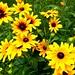 Flowers: Black-eyed susan