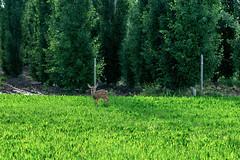 Cute as a Button (Bracus Triticum) Tags: cute button fawn deer animal アルバータ州 alberta canada カナダ 6月 六月 水無月 rokugatsu minazuki monthofwater 2018 reiwa summer june