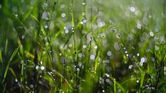an evening walk (jtr27) Tags: dscf8086xl jtr27 fuji fujifilm xt20 vivitar komine 55mm f28 macro manualfocus newhampshire nh rain dew grass bokeh newengland
