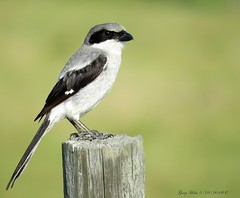 Loggerhead Shrike A Bird Of Prey (Gary Helm) Tags: bird birds birdofprey songbird fly light feathers sing image photograph wildlife nature outside outdoor loggerheadshrike gray black ghelm4747 garyhelm florida floridawildlife osceolacounty lakekissimmee joeoverstreetroad bug reptile rhodent fence post perch fencepost insects canon camera sx60hs powershot animal