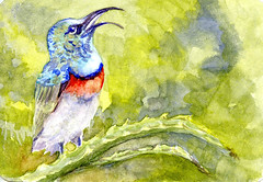 Southern Double-Collared Sunbird-Postcards for the Lunch Bag (Life Imitates Doodles) Tags: sunbird bird animal landscape postcardsforthelunchbag watercolors