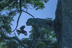 AQUILA VOLA SULL' ALBERO   ---   EAGLE FLIES ON THE TREE (Ezio Donati is ) Tags: uccelli birds animali animals natura nature albero tree foresta forest cieli sky sera evening westafrica costadavorio areasanpedro
