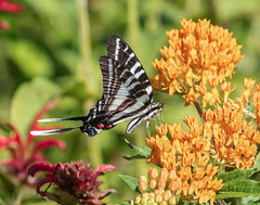 Zebra Swallowtail on butterfly weed. (jerryherman1) Tags: nature nikond500 nikor200500f56 northtract maryland patuxentnationalwildliferefuge butterfly zebraswallowtail