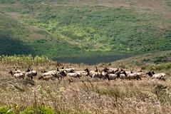 Herd on the Move (lennycarl08) Tags: tuleelk elk pointreyesnationalseashore wildlife animalplanet
