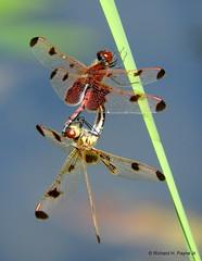 Calico Pennant Mating Wheel_N3606 (Henryr10) Tags: miamimeadowspark milfordoh miamimeadows ohio usa clermontcountyoh spiritof76park calicopennantmatingwheel matingwheel celithemiselisa celithemis calicopennant pennant odonata libélula dragonfly dragonflies libellula libellule libelle drekafluga