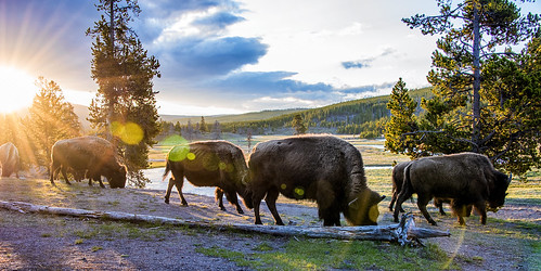 Bison Sunrise feed YNP 920