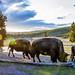 Bison Sunrise feed YNP 920