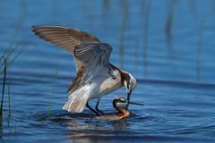 Wilson Phalaropes (Amy Hudechek Photography) Tags: wilsonphalarope bird mating summer colorado wildlife nature amyhudechek phalarope water lake