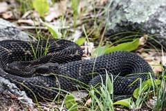 Timber Rattlesnake (Lotterhand) Tags: new hampshire timber rattlesnake