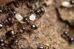 evacuation process (Brian M Hale) Tags: tower hill botanic botanical garden boylston ma mass massachusetts new england newengland usa outside outdoors nature macro extreme closeup close up insect insects brian hale brianhalephoto ants pupa larva babies eggs