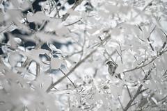 720nm infrared bird (Brian M Hale) Tags: ir infrared 720nm kolari vision kolarivision outside outdoors nature bird birding birds birdwatch birdwatching west w boylston ma mass massachusetts new england newengland usa brian hale brianhalephoto