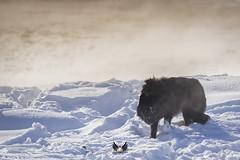 Prowler (Scott Joshua Dere) Tags: prowl wolf predator winter yellowstone wild