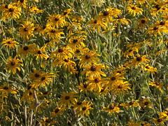 Blackeyedsuzys (michaelmaguire4) Tags: flowers