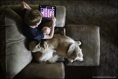 6-12 Bruno: Math unrequited (Dave (www.thePhotonWhisperer.com)) Tags: 12monthsfordogs 12monthsforbruno dog dogversation golden goldenretriever chair comfortable